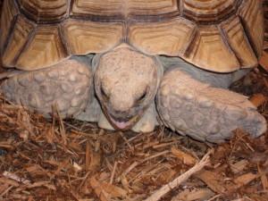 Russian-Tortoise-5